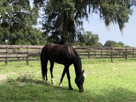 S.S Maanlicht, Hanoverian Gelding for sale in Florida