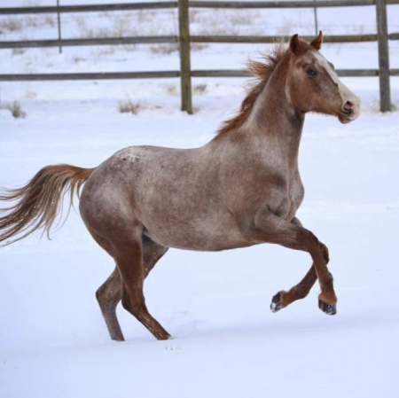 Up Your App - Ellie, Appaloosa Mare for sale in Utah