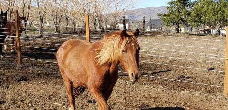Tequila's Sunrise Charlie girl , Missouri Fox Trotting Horse Mare for sale in Washington