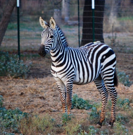 Young Zebras ready to go, Zebra Colt for sale in Washington