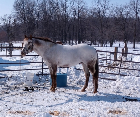 Designed By Legend ApHC #623017, Appaloosa Stallion for sale in Minnesota