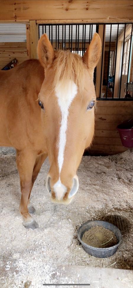Jessie , American Quarter Horse Mare for sale in Connecticut