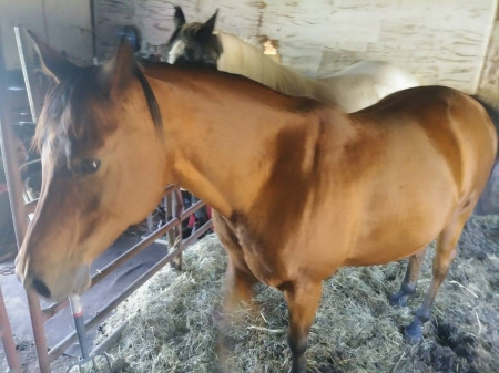 Kayous, Arabian Mare for sale in Wisconsin