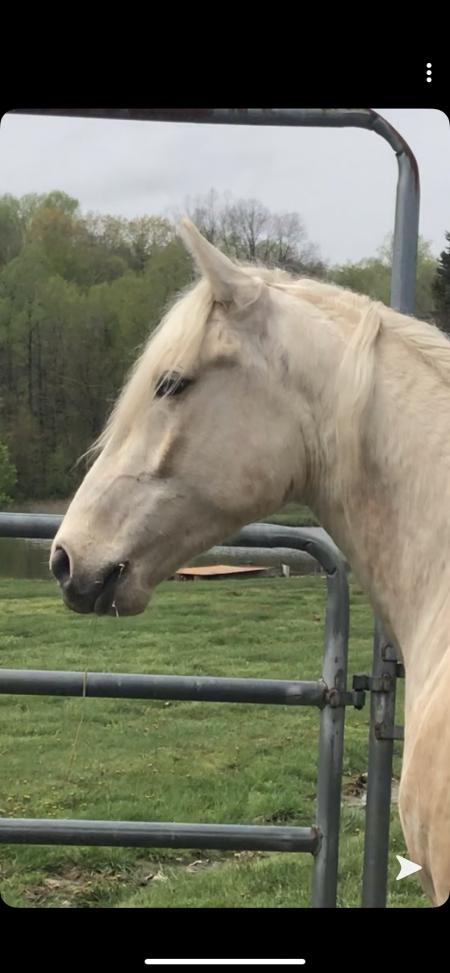 Blows Big Smoke, Kentucky Mountain Saddle Horse Gelding for sale in Indiana