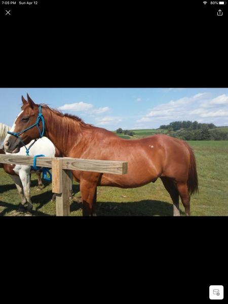 Harley, American Quarter Horse Gelding for sale in Wisconsin