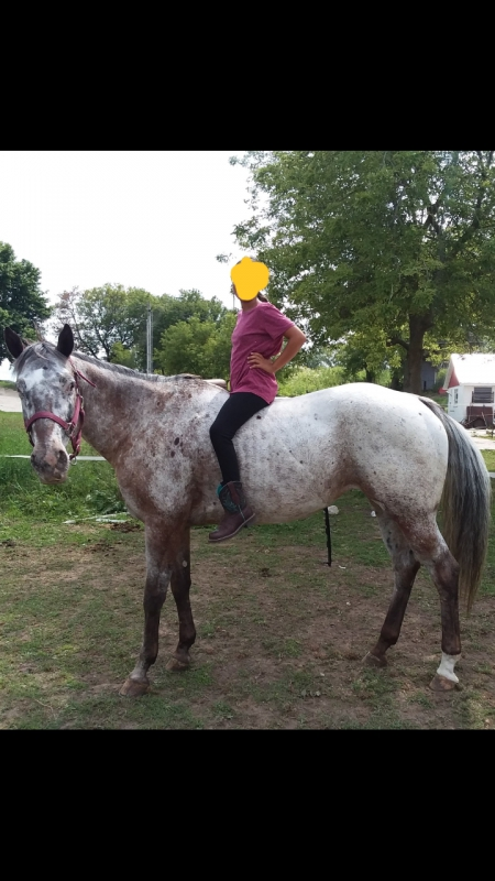 Minty Sugar Nugget (Sugar), Appaloosa Mare for sale in Wisconsin