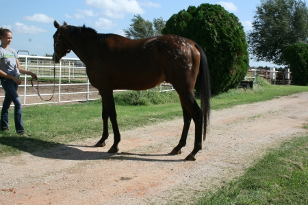 Blazing Hot Bandit, Appaloosa Gelding for sale in Oklahoma