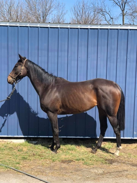 High Currency, Thoroughbred Mare for sale in Nebraska