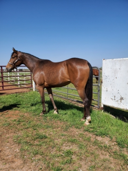 Fancy Detail Hunter, Appaloosa Filly for sale in Oklahoma