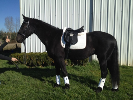 Elodin, Friesian Cross Gelding for sale in Oregon