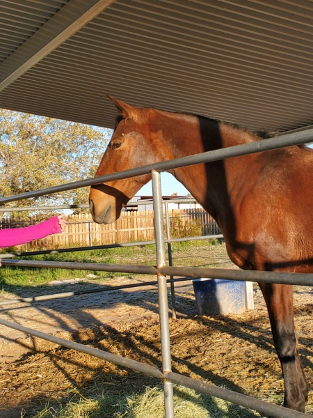 Fire, Andalusian Mare for sale in California