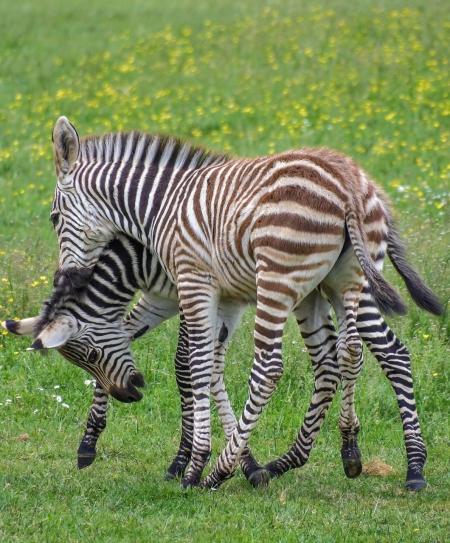 Zebra, Zebra Colt for sale in California