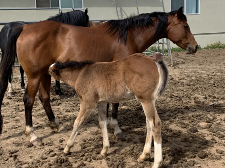 Mary, Quarter Horse Cross Mare for sale in California