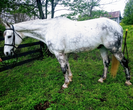 Tempy, Canadian Horse Gelding for sale in Indiana