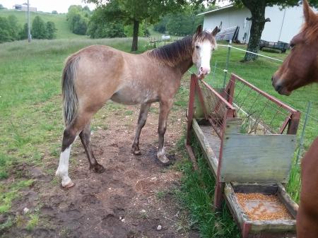 Kit, Missouri Fox Trotting Horse Stallion for sale in Missouri