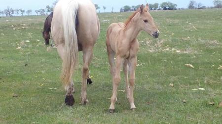 Miss Kitty Driftin Dreams, American Quarter Horse Filly for sale in Nebraska