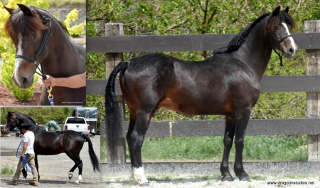 Michalles Checkmate, Morgan Stallion for sale in Washington