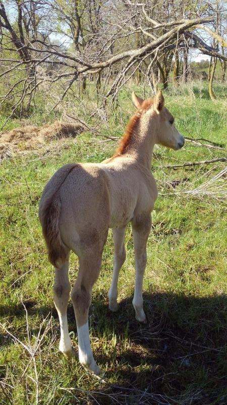 Daisy Driftin Dreams (pending), American Quarter Horse Filly for sale in Nebraska