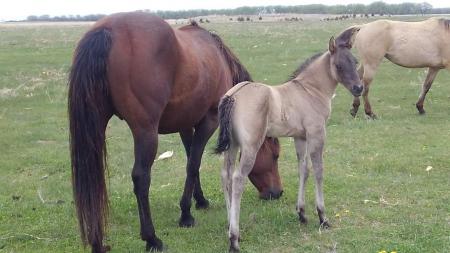 Festus Driftin Dreams (pending), American Quarter Horse Colt for sale in Nebraska