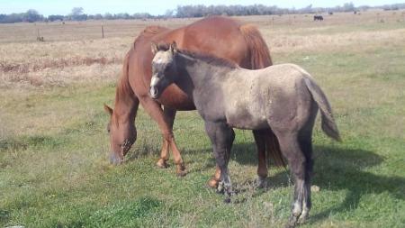 Rubble Driftin Dreams 2019, American Quarter Horse Colt for sale in Nebraska