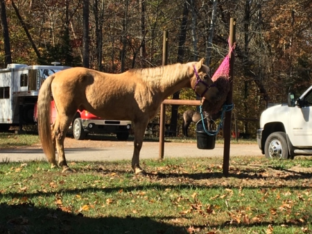 Cam (Universal Chamelon), Morgan Gelding for sale in Indiana