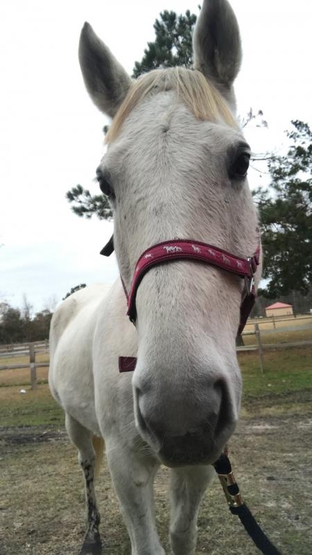 Winnabow, Quarter Horse Cross Gelding for sale in North Carolina