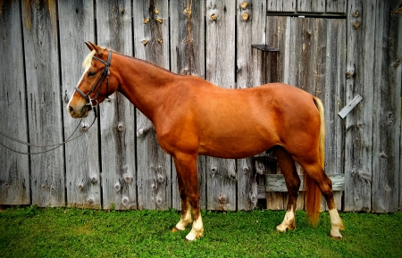 The Count of Monte Cristo, Welsh Pony Gelding for sale in North Carolina
