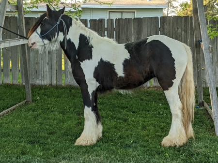 Harmony , Gypsy Vanner Filly for sale in Idaho
