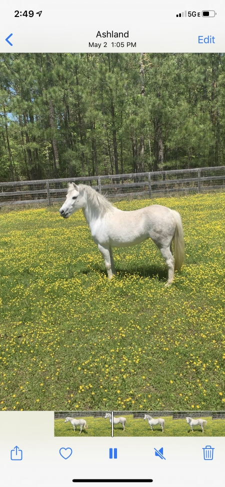 Pickles, Welsh Pony Mare for sale in Virginia