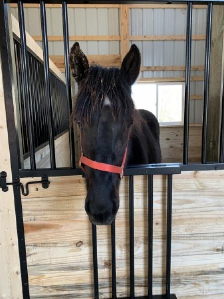 Andy, Percheron Colt for sale in Michigan