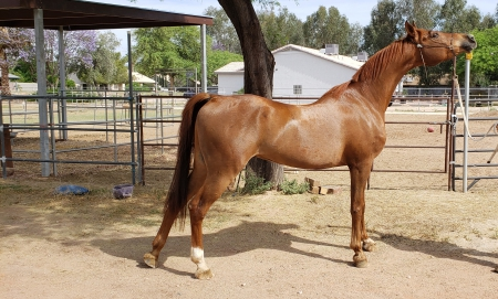 SS MAGNUMS ECHO, Arabian Gelding for sale in Arizona