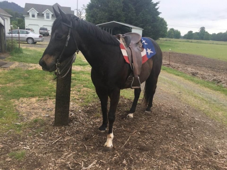 Midnight, Morgan Gelding for sale in Oregon