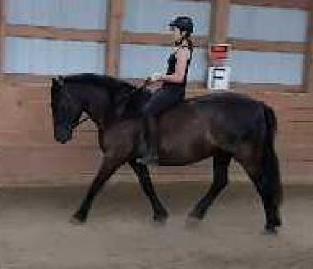 Cache Phenom Wisper, Canadian Horse Gelding for sale in Saskatchewan