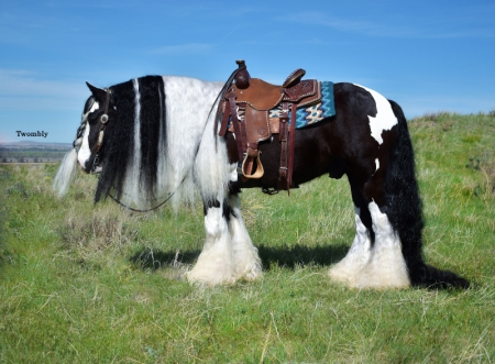Gallivant, Gypsy Vanner Gelding for sale in Nebraska