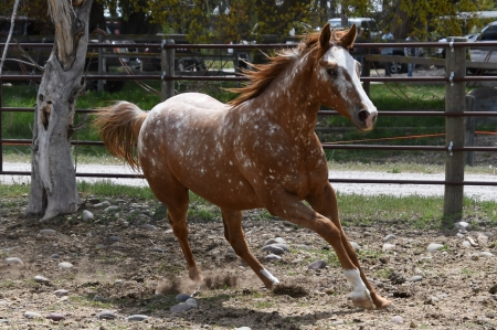 A Classic Deal, Appaloosa Filly for sale in Idaho