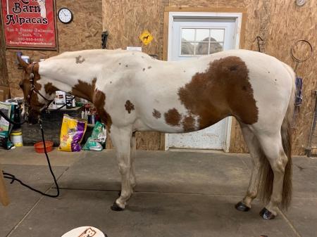 Gallant Secret Dream (Scarlet), American Paint Horse Association Mare for sale in Washington