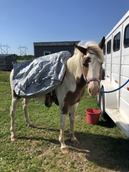 Olaf, Mustang Gelding for sale in Minnesota