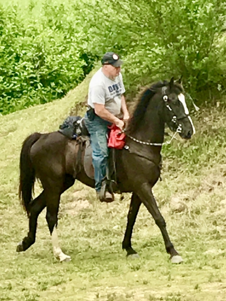 Doc 6 yr old gelding, Tennessee Walking Horses Gelding for sale in Georgia