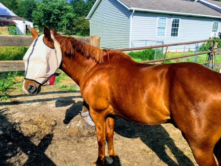 Whisper, Quarter Pony Gelding for sale in Pennsylvania