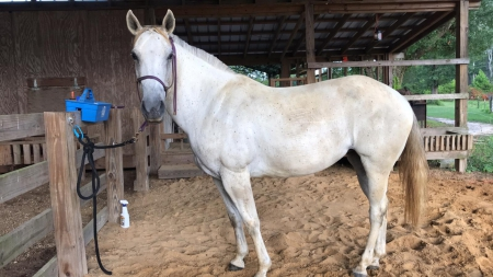 Eve, Thoroughbred Cross Mare for sale in Florida