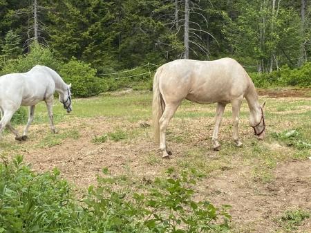 Aurora, Mountain Pleasure Horse Mare for sale in Maine
