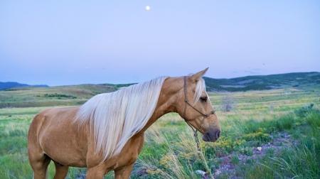 Ace, Missouri Fox Trotting Horse Gelding for sale in Utah