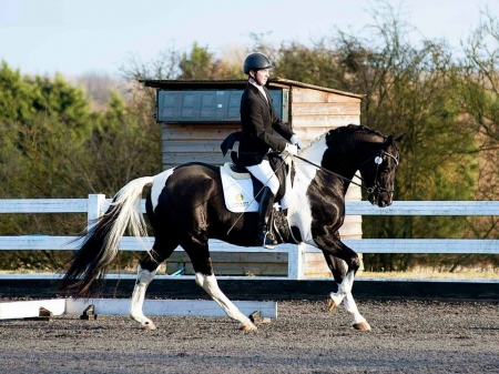 Dark Knight, Irish Sport Horse Gelding for sale in California
