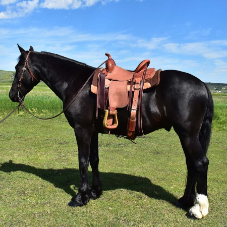 Atlas, Andalusian Stallion for sale in Wisconsin