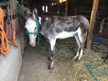 Mr. Pickles, Donkey Gelding for sale in Colorado