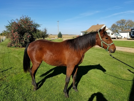 MJS Who's Gettin Lucky, Rocky Mountain Mare for sale in Minnesota