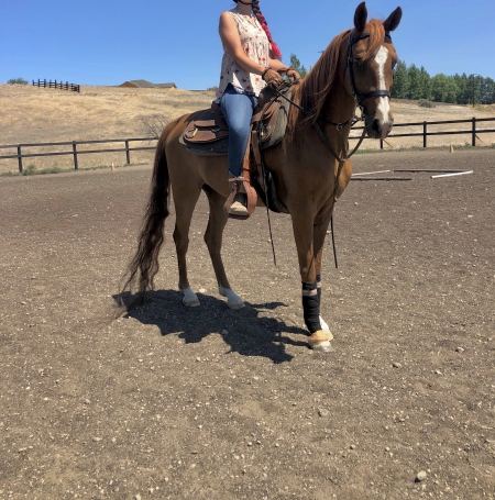 Calhun EXT, Arabian Gelding for sale in Washington
