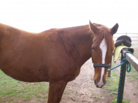 Party, Quarter Horse Cross Mare for sale in South Carolina