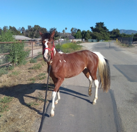 Sayen, Quarter Pony Filly for sale in California