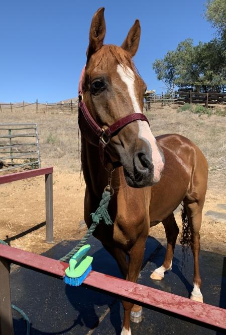 Calhun EXT, Arabian Gelding for sale in Washington